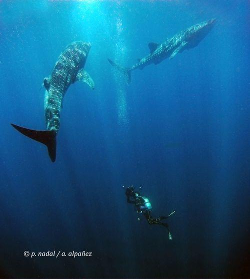 Paco Nadal buceando con tiburones
