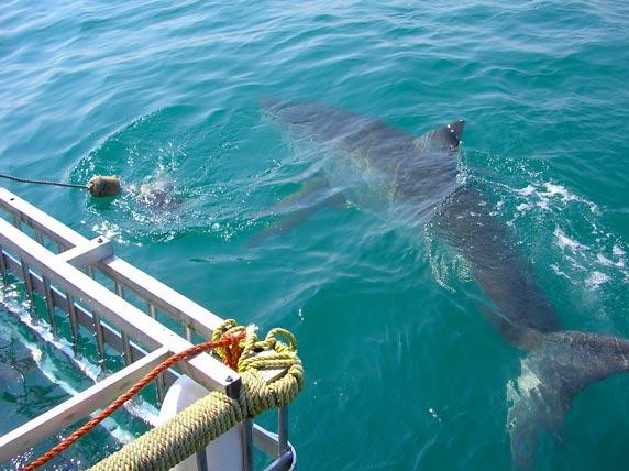 Bucear con tiburón blanco