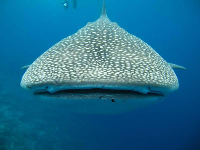La boca del tiburón ballena