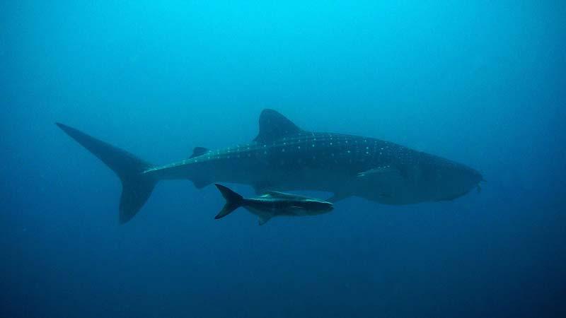 El tiburón ballena midee 12 metros