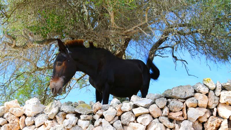 Menorca caballo menorquin