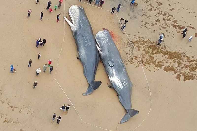 Cachalotes muertos
